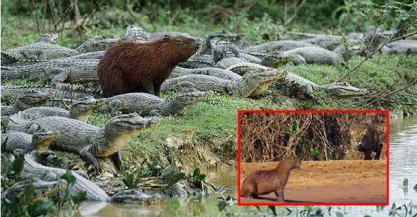 หนูยักษ์แคพิบาราเป็นมิตรกับสัตว์ทุกชนิด ที่แม้แต่เสือจากัวร์ยังต้องหันไปล่าสัตว์อื่นแทน