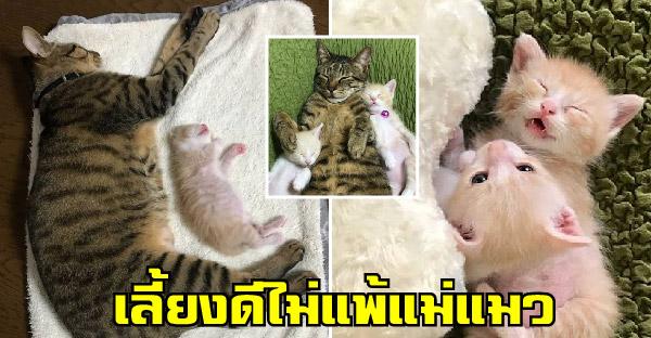 พ่อบุญธรรมลายสลิด ช่วยเลี้ยงสองลูกแมวกำพร้า ที่ต้องการความอบอุ่นและความรักที่แท้จริง