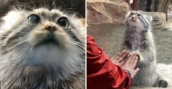 Polly แมวป่าพัลลัสแห่งสวนสัตว์ญี่ปุ่น น่ารัก ขี้เล่น จนโด่งดังไปทั่วออนไลน์