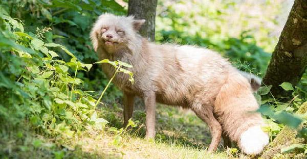 สุนัขจิ้งจอกพันธุ์พิเศษถูกช่วยชีวิตจากฟาร์มขน ก่อนพบเนื้อคู่ที่เปลี่ยนแปลงชีวิตมันไปตลอดกาล