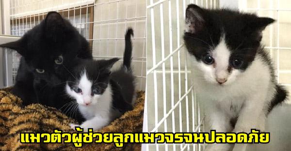 แมวตัวผู้แปลกหน้าช่วยดูแลลูกแมวจรจัดทุกตัว จนกระทั่งกู้ภัยสัตว์เข้าช่วยเหลือ
