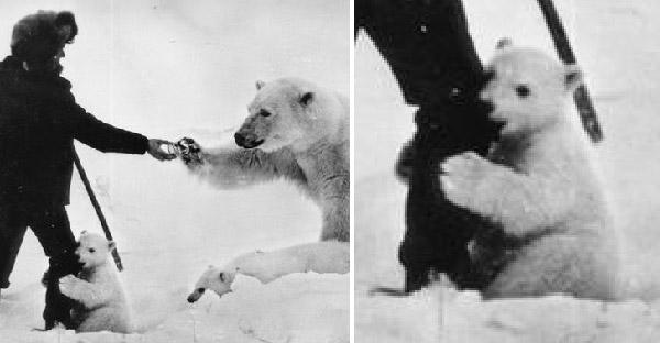 เผยภาพชุดประวัติศาสตร์ของทหารรัสเซีย ที่ให้อาหารหมีขั้วโลกจนเชื่องทั้งครอบครัว