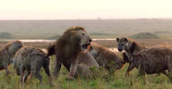 สิงโตหนุ่มกำลังถูกไฮยีน่ากว่า 20 ตัวรุม กระทั่งพี่ชายได้ยินเสียงร้อง จึงรีบวิ่งเข้ามาช่วยอย่างกับพระเอก