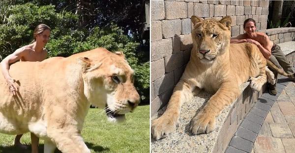 รู้จักไลเกอร์ 'เฮอร์คิวลิส' ที่สร้างสถิติลงกินเนสบุ๊ค เป็นแมวใหญ่ยักษ์ที่สุดในโลก