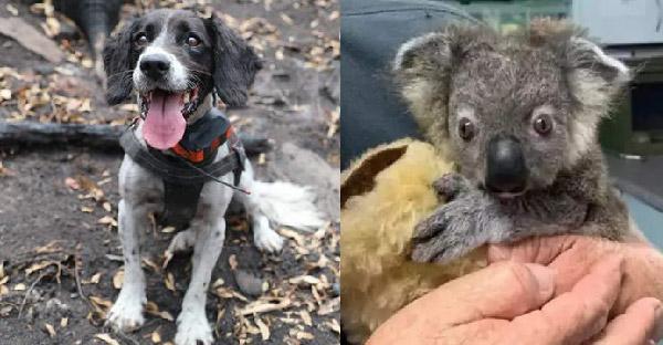 สุนัขดมกลิ่นพาไปเจอโคอาล่าที่รอดชีวิต 7 ตัว ในเหตุการณ์ไฟป่าที่ออสเตรเลีย