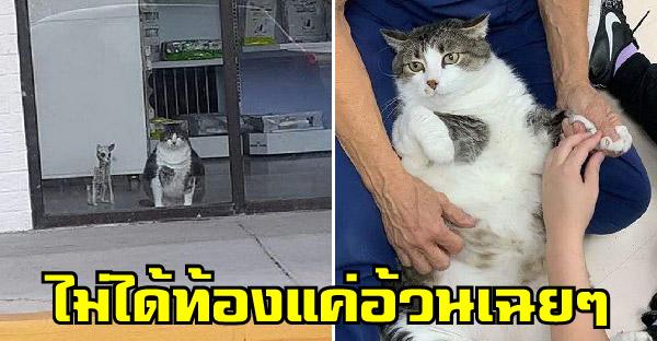 พบกับ Fred แมวอ้วนประจำคลีนิค ที่ถูกเข้าใจผิดว่าท้องอยู่เสมอ