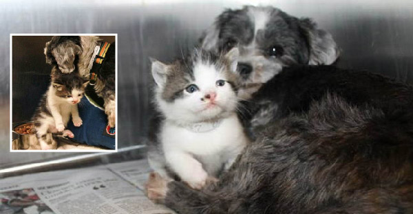 ชิสุเห่าดังลั่นเรียกให้คนมาช่วย เพราะมันกำลังปกป้องลูกแมวตัวน้อย