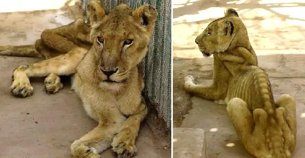 สิงโตแอฟริกาสุดรันทด ผอมหนังติดกระดูก หลังสวนสัตว์ขาดทุนจนไม่มีเงินซื้ออาหาร