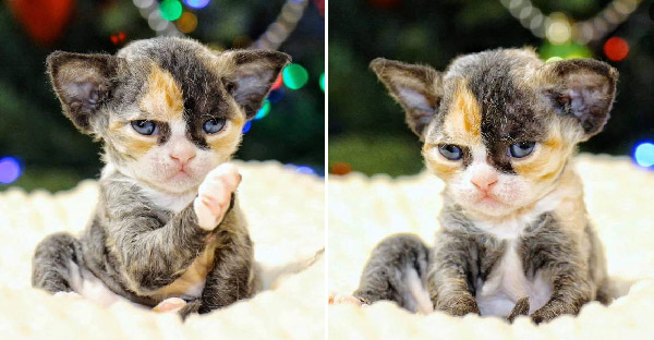 เฉลยสายพันธุ์ลูกแมว 'เดวอนเร็กซ์' หลังชาวเน็ตสงสัยหนัก เพราะน้องน่ารักมาก