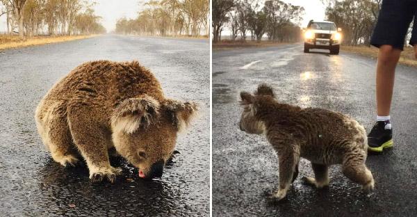 โคอาล่าออกมาดื่มน้ำฝนกลางถนนหลังเกิดไฟป่า ถึงดูน่ารักแต่ก็อันตรายไม่น้อย