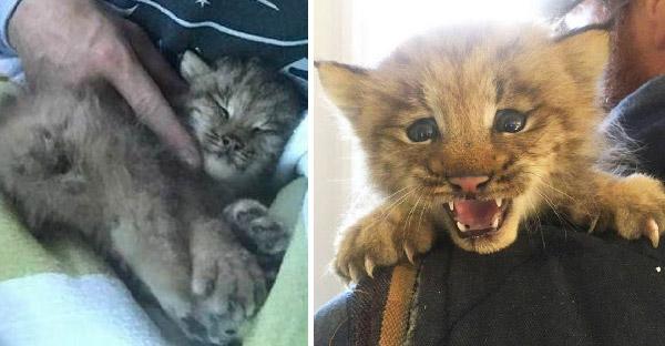 หนุ่มช่วยชีวิตลูกแมวจากข้างทาง และน้องออกลายซ่ามาก จนรู้ว่าเป็นแมวป่าที่หายาก