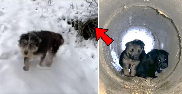 แม่ลูกสุนัขจรจัดโผล่ออกมาจากท่อระบายน้ำ เพื่อขอให้มนุษย์ใจดีช่วยชีวิตลูกๆของเธอ