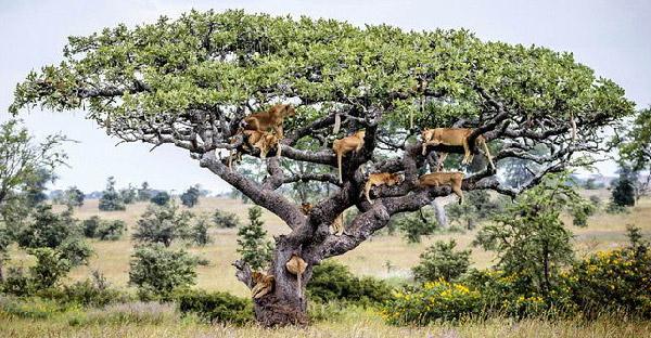 สิงโตแทนซาเนียปีนขึ้นต้นไม้ หนีฝูงแมลงวันกวนใจในแทนซาเนีย