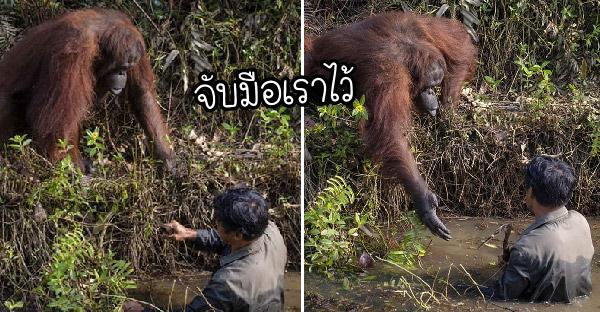 อุรังอุตังเอื้อมมือเข้าช่วยผู้พิทักษ์ป่า หลังเขาลงไปสำรวจงูในแม่น้ำของเกาะบอร์เนียว