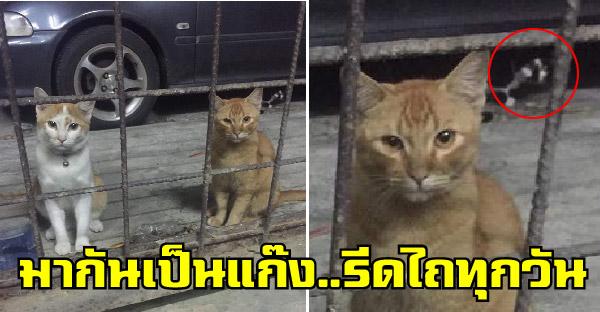 แมวหมู่มากันเป็นแก๊ง จะเนียนว่าจรแต่ดันมีปลอกคอ ส่งสายตาอ้อน รีดไถข้าวฟรีกินประจำ