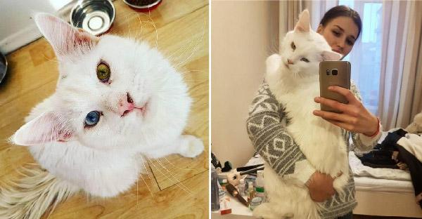แมวยักษ์ตาสองสี ขี้อ้อนตั้งแต่เด็กจนโต จนอุ้มแทบไม่ไหว