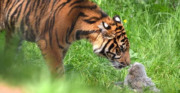 ลูกนกฮูกบาดเจ็บบินพลาดตกไปในกรงเสือโคร่ง จนเกิดเป็นเหตุการณ์ลุ้นระทึก