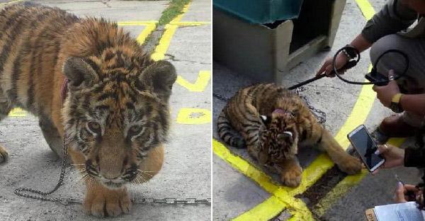 ลูกเสือที่ไม่มีใครสนใจถูกล่ามอยู่หน้าร้านอาหาร ก่อนตรวจสอบเจอว่าถูกลักลอบเข้าประเทศ