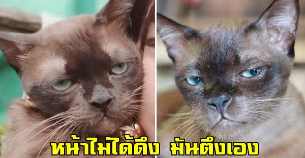 """รู้จัก """"น้ำตาล"""" แมวที่ชอบทำหน้าเบื่อตลอด หน้าตึง หน้ามึน กว่านี้ไม่มีแล้ว"""