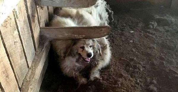 น้องหมาโดนปล่อยไว้ในโรงนา 7 ปี พลิกโฉมจากขนสังกะตังหนักมาก กลายเป็นหมาน้อยสุดน่ารักที่มีแต่คนเอ็นดู