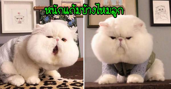 รู้จัก Fen Fen แมวสายพันธุ์ ที่มีแก้มย้อยน่าหยอกเป็นที่สุด