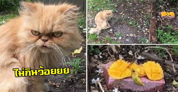 หนุ่มบังเอิญเจอแมวจรหิวโซ จึงปอกมะม่วงให้กิน แต่เจอน้องทำหน้าเหวี่ยงใส่ สุดท้ายต้องรับกลับไปเลี้ยง