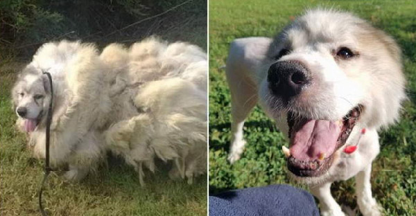 สุนัขแบกขนสังกะตังหนักมากนานเจ็ดปี ก่อนจะได้รับการช่วยเหลือ และเผยความสง่างามอีกครั้ง
