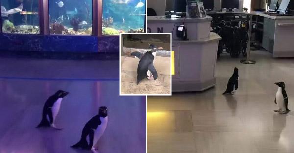 พิพิธภัณฑ์สัตว์น้ำปล่อยเพนกวินออกเดินเล่น และอัปเดตความน่ารักผ่านทวิต หลังต้องปิดบริการ 14 วัน