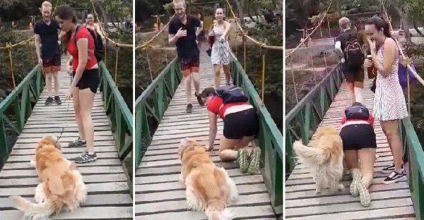 โกลเด้นกลัวสะพานขาสั่นจนขาอ่อน เจ้าของจึงคลานเป็นเพื่อนเพื่อช่วยให้น้องหายกลัว