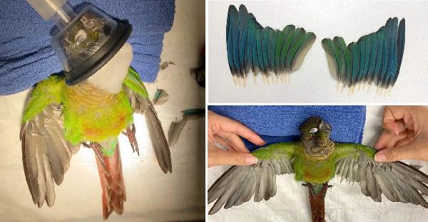 นกแก้วผู้น่าสงสารได้รับปีกคู่ใหม่ หลังจากโดนมนุษย์ใจร้ายตัดออกไป