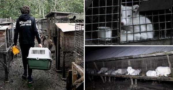 กู้ภัยสัตว์ช่วยชีวิตสุนัขจิ้งจอกจากฟาร์มขนสัตว์ และได้เจอกับความจริงที่น่าตกใจ