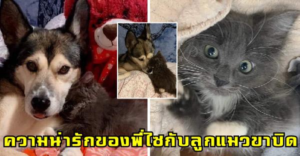 ความน่ารักของไซบีเรียนกับลูกแมวไร้บ้าน ที่กลายเป็นเพื่อนสนิทกันอย่างลงตัว