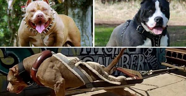 10 สายพันธุ์สุนัขดุร้าย ที่ถูกห้ามนำเข้าในหลายประเทศ