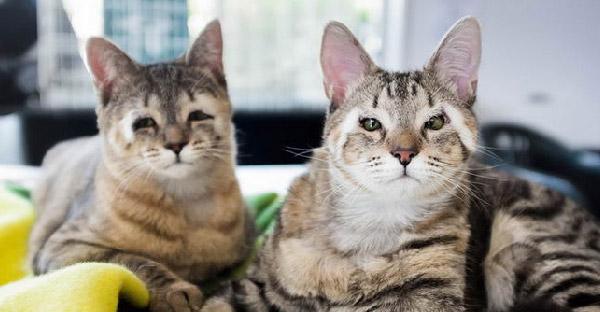 คู่หูแมวไร้เปลือกตารับการผ่าตัดเพื่อช่วยชีวิต ผลออกมาทำให้น่ารักไม่มีใครเหมือน