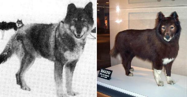ยอดสุนัข 'บัลโต' ฮีโร่ผู้ช่วยเหลือชีวิตคนทั้งเมืองจากโรคประหลาด