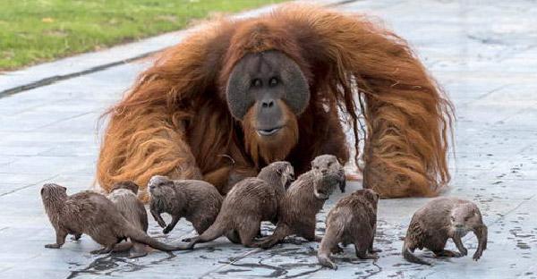 อุรังอุตังผูกมิตรกับนากตัวน้อยในสวนสัตว์ เป็นมิตรภาพต่างสายพันธุ์ที่หาดูได้ยาก