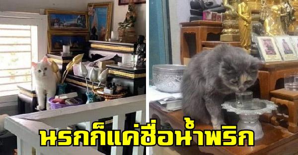 แมวชอบปีนบนหิ้งพระ บางทีก็งับเล่น แถมกินน้ำบนหิ้ง ชวนสงสัยน้องจะบาปไหม
