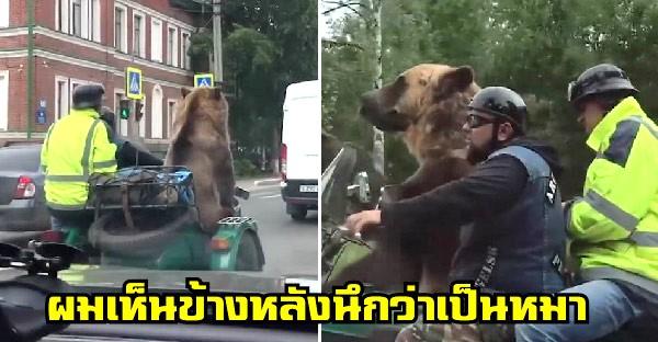 หนุ่มขับรถเห็นหมาตัวใหญ่นั่งมอไซค์ พอขับแซงชัดเลยว่าคือพี่หมีตัวเบิ้ม
