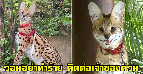 เซอร์วัลหลุดหาย กลัวคนเข้าใจผิดคิดว่าเป็นเสือ วอนอย่าทำร้ายน้อง กรุณาติดต่อเจ้าของด่วน