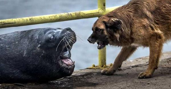 เจ้าตูบขู่ใส่สิงโตทะเล สู้ไม่ถอย หวังทวงปลาที่โดนฉกไปคืน