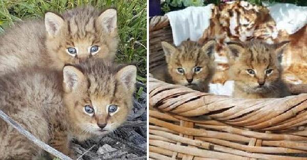 วัยรุ่นช่วยลูกแมวจากข้างถนน ก่อนรู้ภายหลังว่าคือแมวป่าที่ไม่ธรรมดา