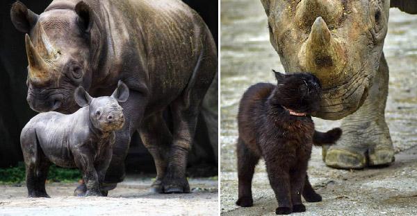 สวนสัตว์นำแมวมาเป็นพี่เลี้ยงแรดดำใกล้สูญพันธุ์ คอยดูแลและปกป้องมานานนับ 20 ปี