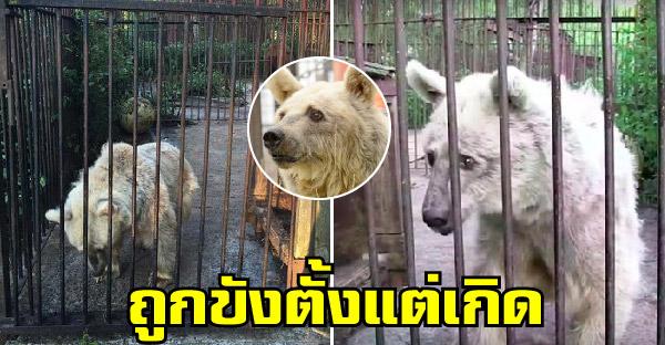 หมีนัยน์ตาเศร้าเฝ้ารอความช่วยเหลือตลอด 30 ปี กว่าจะได้พบอิสระที่แท้จริง