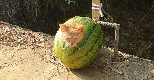 พลเมืองดีช่วยลูกแมวติดอยู่ในแตงโม ตลกร้ายของคนใจดำอันน่ากลัว