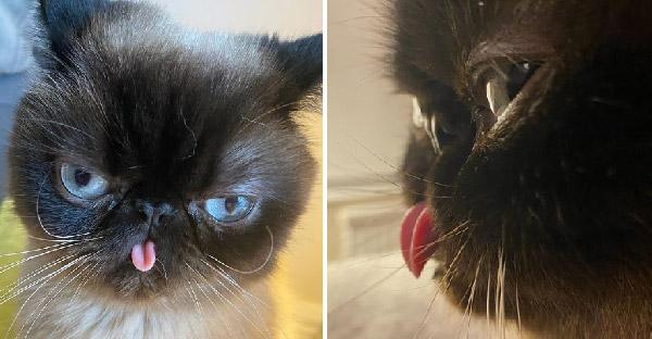 พบกับ 'Ikiru' เจ้าแห่งการแลบลิ้น ที่กำลังขโมยหัวใจของทาสแมวทุกคน