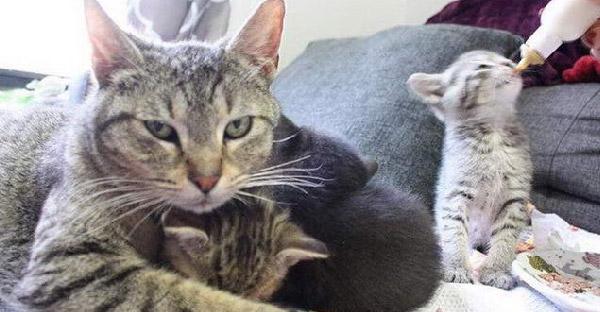 แมวลายสลิดตัดสินใจเดินเข้าบ้านคนแปลกหน้า เพื่อขอให้ช่วยชีวิตลูกๆของมัน