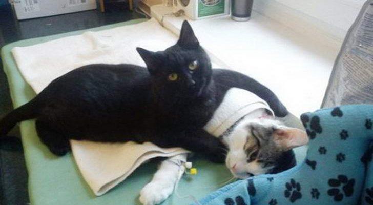 แมวดำจรจัดผ่านความเจ็บปวดจนเข้าใจ กลายเป็นผู้ช่วยพยาบาลคอยช่วยดูแลสัตว์ป่วยในคลีนิค