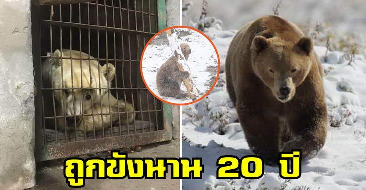 หมีแก่ถูกช่วยเหลือให้เป็นอิสระครั้งแรกชีวิต หลังถูกขังกรงมาตลอด 20 ปี