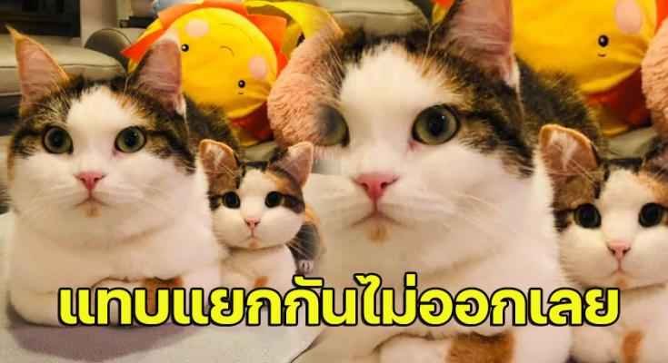 น้องแมวอ้วน น่ารักแทบแยกกันไม่ออกเลย