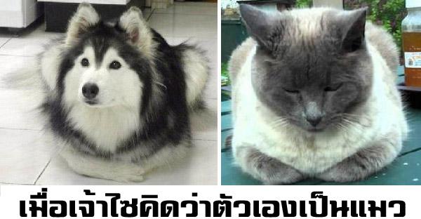 ฮัสกี้โดนเลี้ยงกับแมวตั้งแต่เด็ก ทำให้พฤติกรรมเหมือนแมวทุกอย่าง